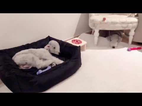Bedlington terrier Sunday Evening😴