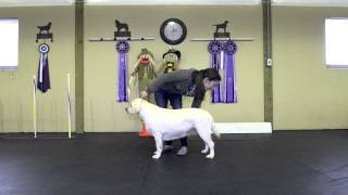 Good Retriever Life - Misha Abbenhouse Dog Conformation Training 1st Class 2015