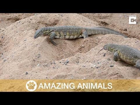 Monitor Lizards Steal Crocodile Eggs