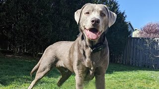 Silver Lab: Dog Breed Information and Owner's Guide