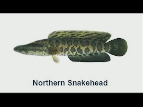 Snakehead Fish Found In Georgia