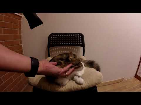 ASMR Hair Dryer Relax Sound - Cat Drying - movimenti natural