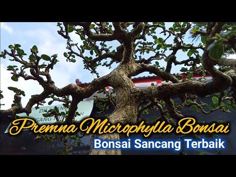 Bonsai Sancang Terbaik | Premna Microphylla Bonsai