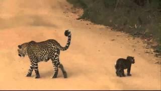Karula and cubs SafariLIVE 26th April 2016