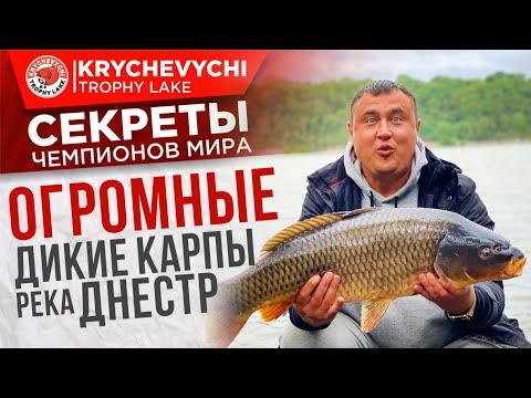 Рыбалка на карпа, ловля огромных диких сазанов на реке Днестр.