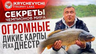 Рыбалка на карпа ловля огромных диких сазанов на реке Днестр