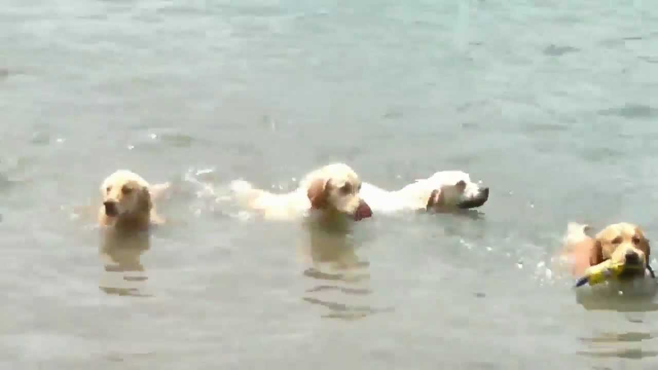 Jethro Golden Retriever Nuota Al Lago Di Martignano Con Altri 10
