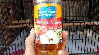 Benefits Of Apple Cider Vinegar For Budgies   Budgies Info Lahore   Urdu/Hindi
