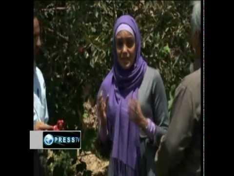 Apple Farming ,تولید سیب (برداشت سیب) .باغداری در ایران