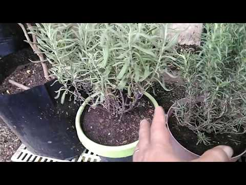 Herbal Plants In Container (Green Tea, Thyme, Basil, Insulin Plant, Etc.)