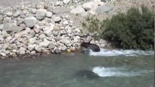 Grizzly Bear & Wolf VS. Baby Elk (Lake Louise, Banff NP)