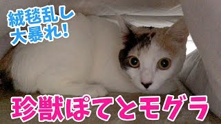 なぜ猫は絨毯の下に潜りたがるのか?珍獣ぽてとモグラ現る!