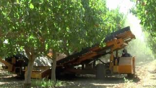 2010 Pistachio harvest