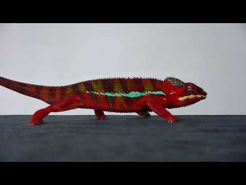 Simon the Red - Panther Chameleon