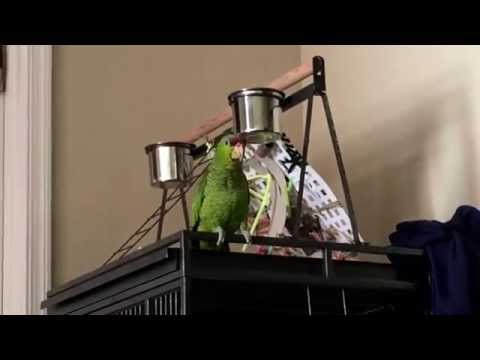 the many sounds of an Amazon parrot