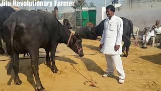 मुर्रा भैंस को कैसे पहचाने. MURRAH Buffalo Characteristics Learn from Sh.Pawan sir owner ARJUN bull.