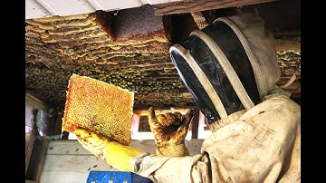 Extreme Honey Bee Hive Removal   SO MUCH HONEY   Honey Bees in the Ceiling!