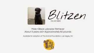 Blitzen - Male, Black Labrador Retriever Available For Adoption In Las Vegas