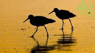 Голоса птиц Как поёт Бекас (Gallinago)