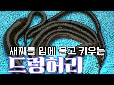 [다큐 개소겡과 드렁허리]03 드렁허리의 생태