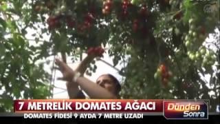 Artık domatesi ağaçtan yiyeceğiz!