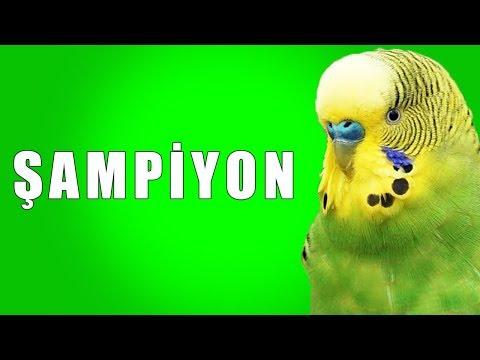 Şampiyon Ses Kaydı Muhabbet kuşu konuşturma egzersizi