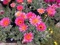Arctotis (Vinidium) hybrid -  African Daisy