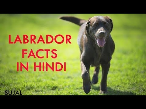 LABRADOR FACTS IN HINDI BY i love dogs