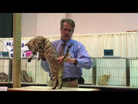 Bengal Kitty at International Cat Show