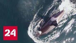 Смотреть видео На Дальнем Востоке решают, что делать с расплодившимися белухами и косатками - Россия 24 онлайн
