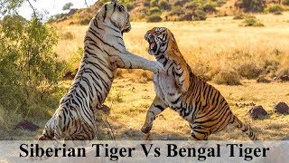 Tiger Fight-siberian Tiger Vs Bengal Tiger-who Is More Powerful? || Omer Chaudha