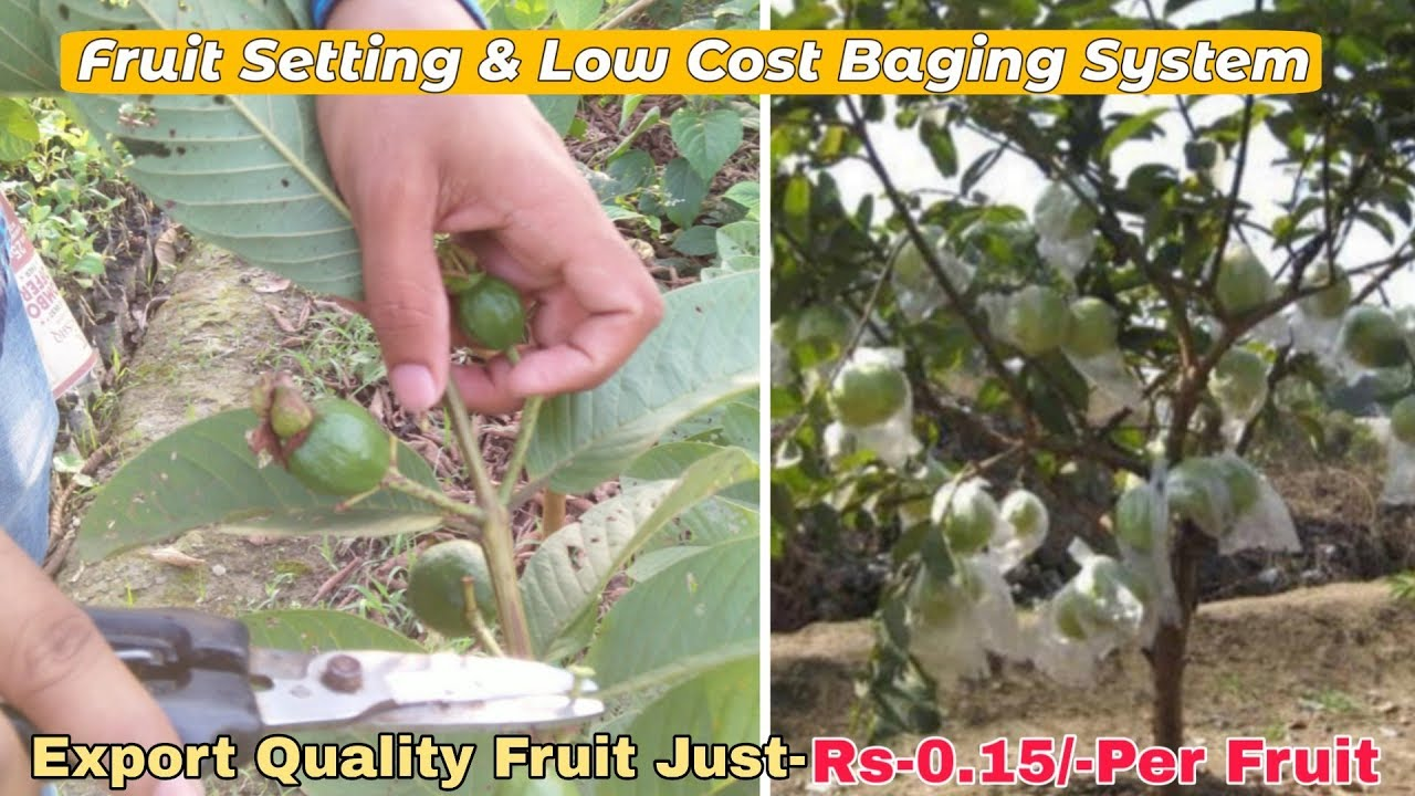 Fruit Setting & Bagging System in Lowest Cost For Guava Plant   Get Export  Quality Guava