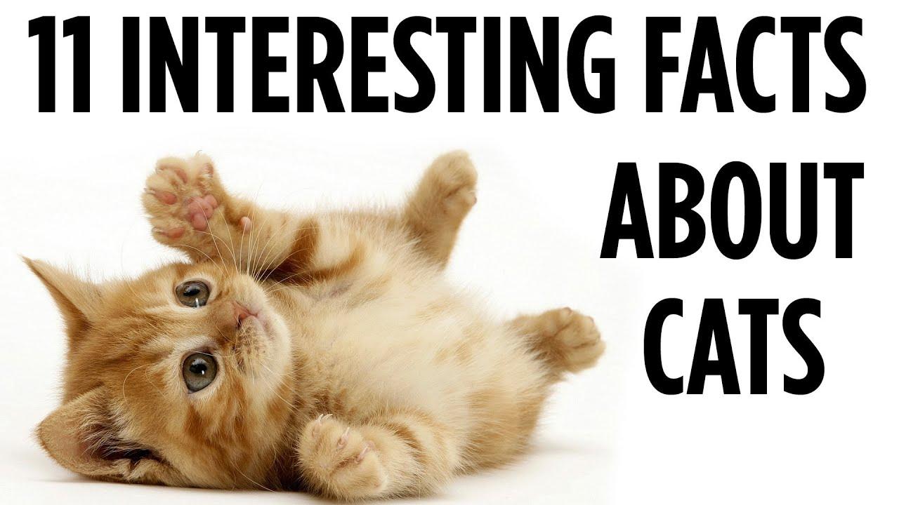 dobby cat breed
