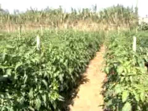 Agriculture chez mourad tomate saint michel youtube - Culture haricot vert plein champ ...