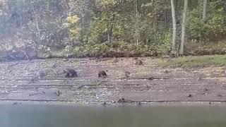 Медведи пришли к нам на рыбалку.
