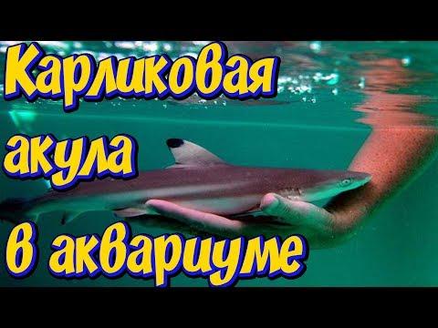 Карликовая акула в аквариуме! Акула в большом аквариуме с рыбами! Аквариумная акула!