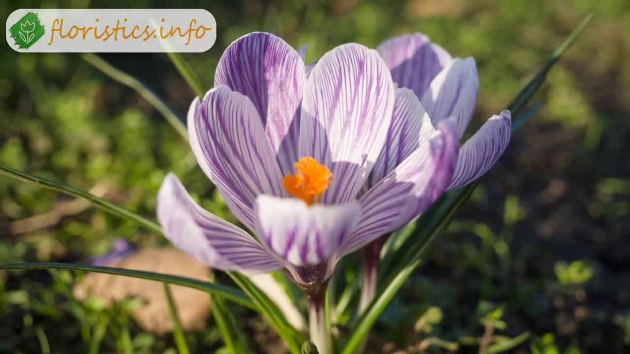 Крокусы купить семена с доставкой почтой по всей украине. Каталог семян и. Конечно, садовые крокусы выращивают не для получения шафрана,