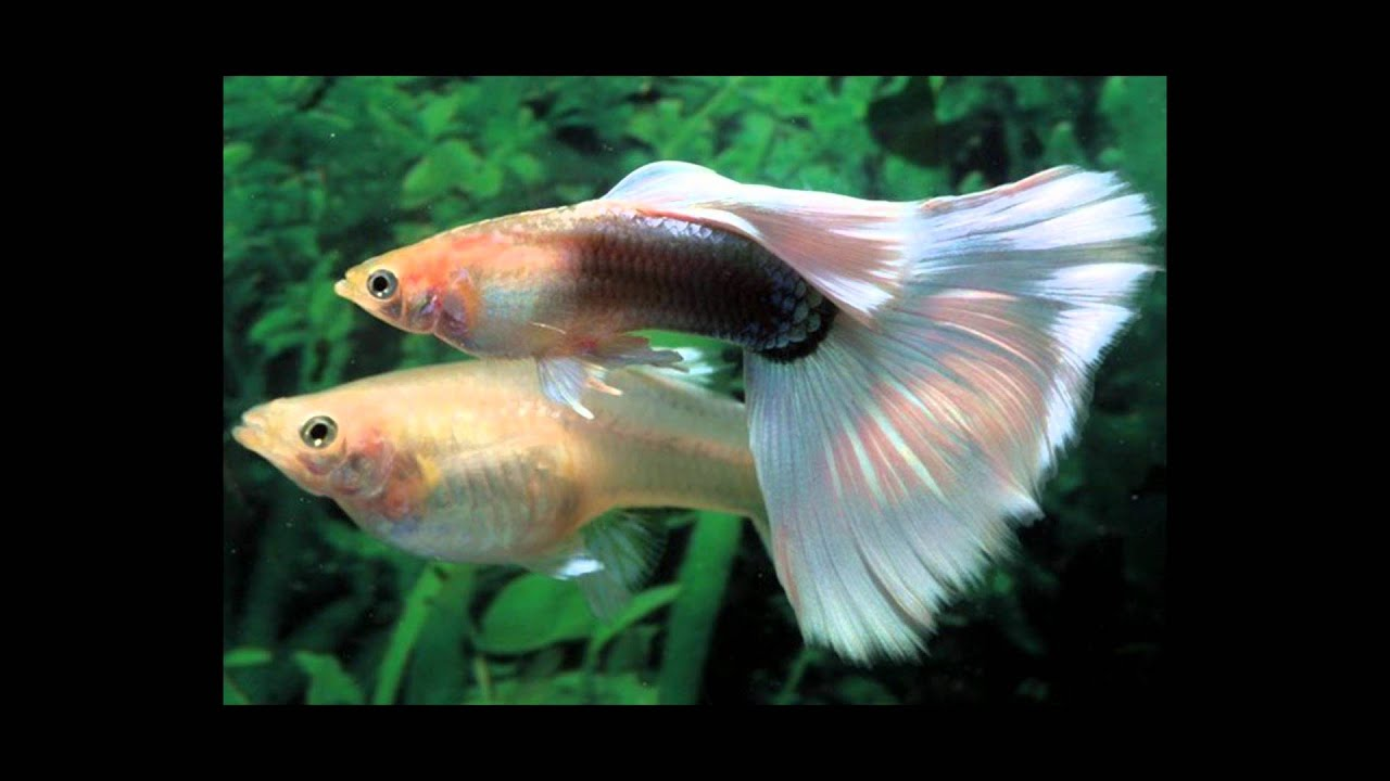 Freshwater aquarium fish mating - Freshwater Aquarium Fish Mating