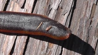 Giant carnivorous mountain leech - Real Japan Monsters