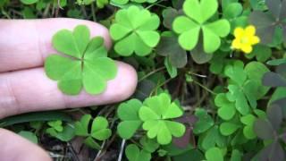 四つ葉のクローバー 四つ葉のクローバー 検索動画 26