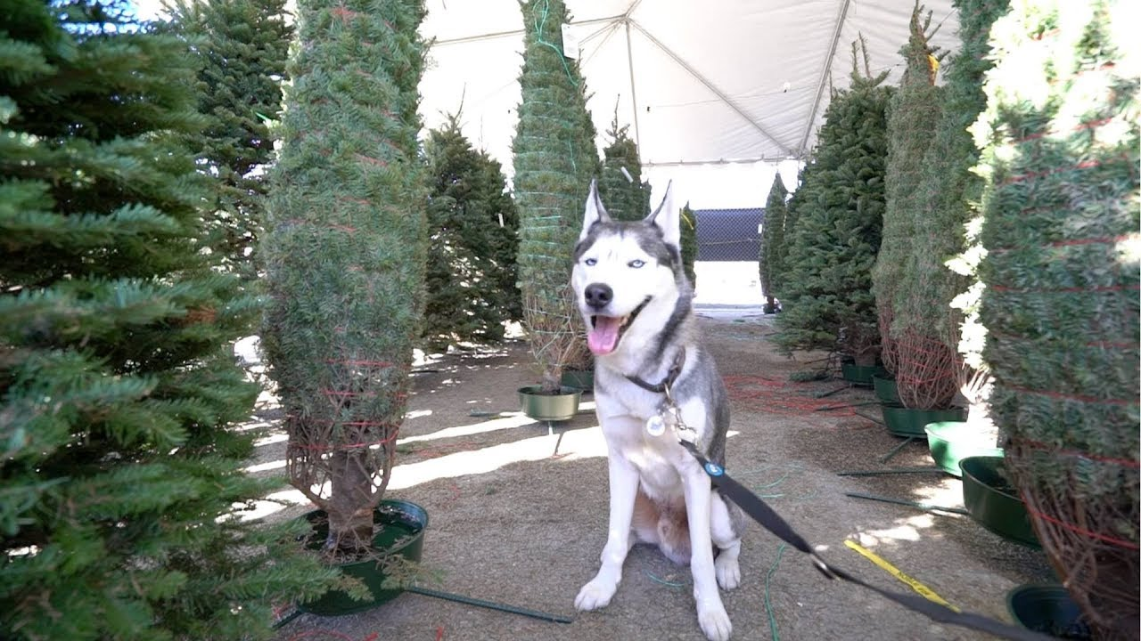 My Husky Picks Out His Own Christmas Tree!