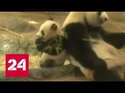 В зоопарке Токио открыли доступ к пятимесячной панде СянСян - Россия 24