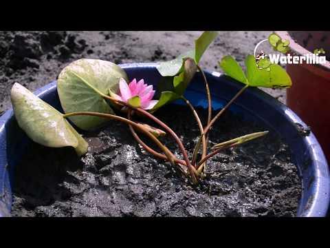 Инструкция по посадке водяной лилии с закрытой корневой