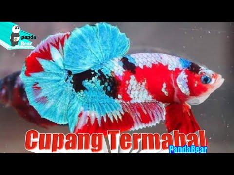 4 Jenis Ikan Cupang Terbagus dan Termahal - YouTube