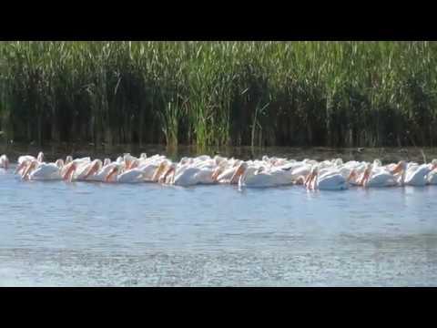 White Pelicans @  Viera Wetlands, Florida birding,