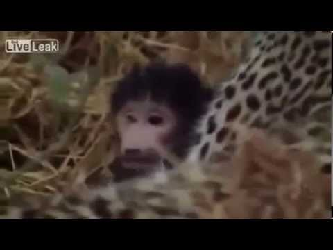 Леопард растит детеныша обезьяны | Leopard raises baby monkey
