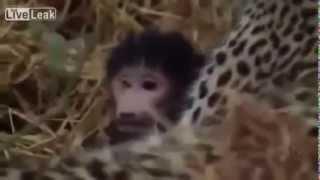 Леопард растит детеныша обезьяны   Leopard raises baby monkey