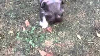 My 6 Week Old  Liver Pepper Miniature Schnauzer Chance Exploring The Yard