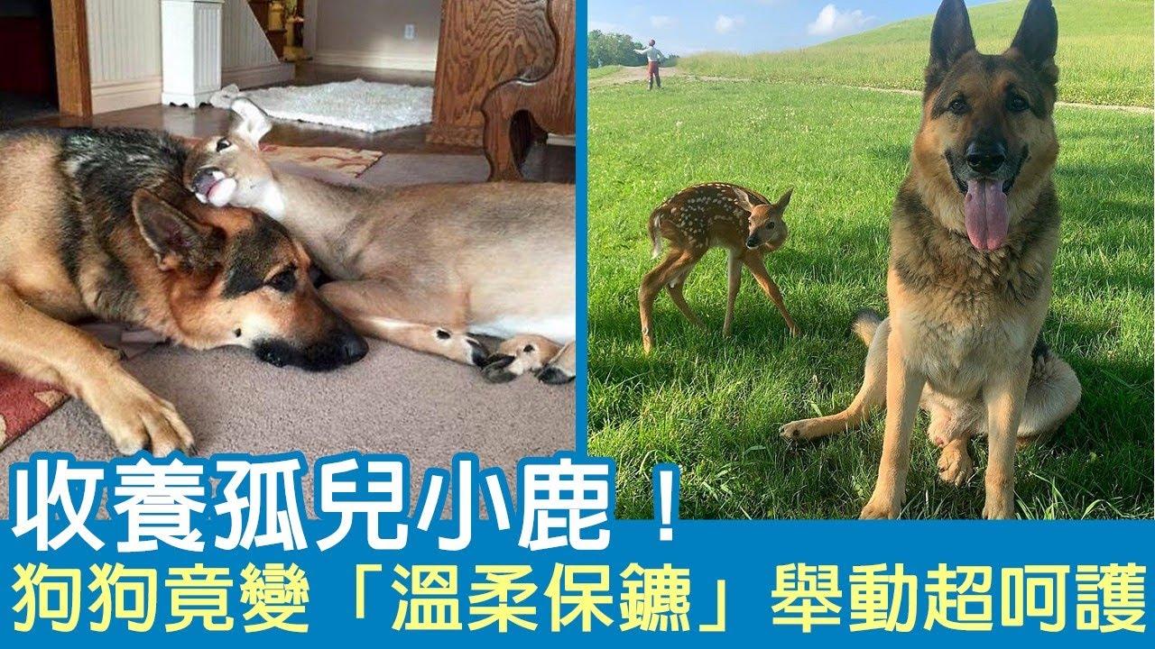 收養孤兒小鹿!狗狗竟變「溫柔保鑣」舉動超呵護:這隻我罩的~
