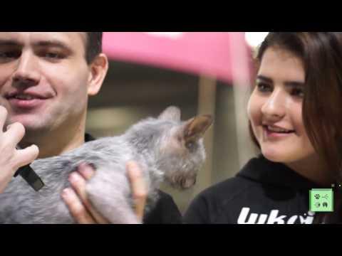 Ликой – самая необычная порода кошек в мире